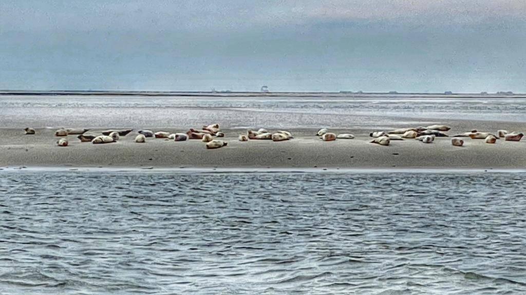 Robben Föhr
